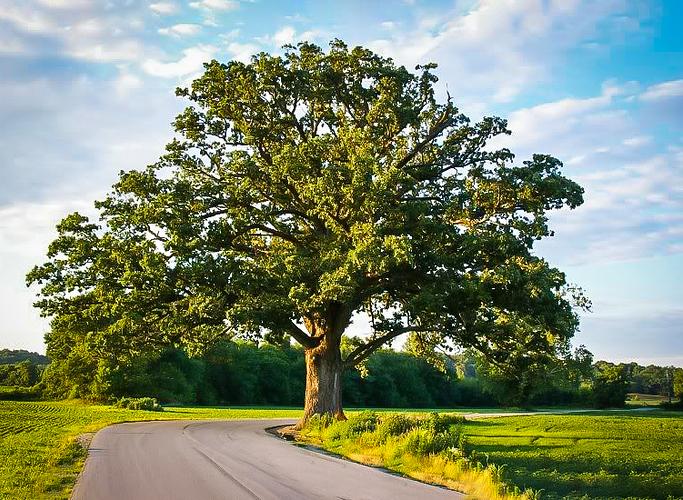 Bur_Oak_Tree_1-new-1